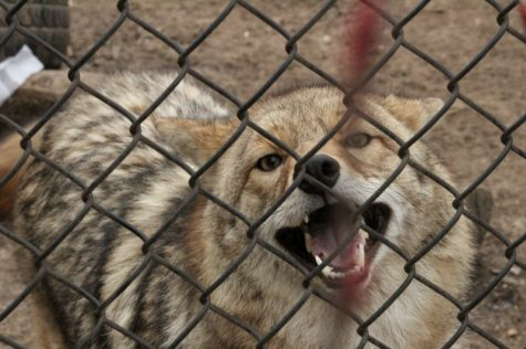 Coyote sightings raise hackles, calls for understanding