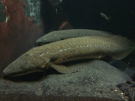 Shedd aquarium lungfish believed to be oldest sea creature in captivity at time of death